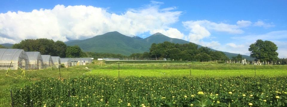 *09/25(日)!八ヶ岳の麓。寒暖の差で育つ菊。